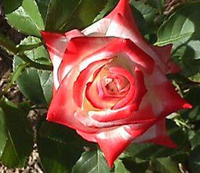 poza Trandafiri de gradina Printesa Farah