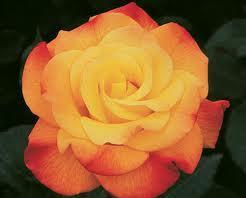 poza Trandafir de gradina Golden Medal, tufa ramificata cu radacina in ghiveci 3 litri
