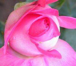 poza Trandafiri de gradina Rose Gaujard, butasi cu radacini in ghivece de 3.5 litri