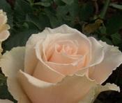 poza Trandafiri parfumati pt gradina Versilia, planta formata cu radacini in ghivece de 3 litri