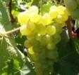 poza Butasi vita de vie, soiul `Chasselas Dore`,radacina ambalata