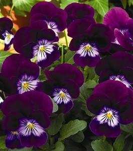 poza Flori de gradina bienale Viola cornuta mini purple / Panselute miniaturale. Flori la ghivece de 9 cm.