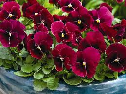 poza Flori de gradina bienale Viola cornuta mini red / Panselute miniaturale. Flori la ghivece de 9 cm.