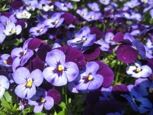 poza Flori de gradina bienale Viola cornuta mini mov / Panselute miniaturale. Flori la ghivece de 9 cm.