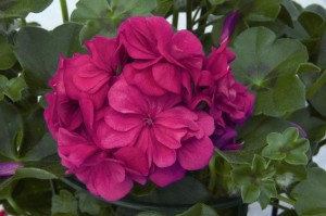 poza Plante de balcon muscate curgatoare cu floare dubla (Pelargonium peltatum mov Royal Blue)
