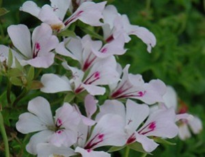 poza Plante de balcon muscate curgatoare albe cu floare simpla Pelargonium peltatum Cascade ghiveci 12cm