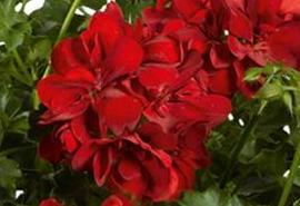 poza Plante de balcon muscate curgatoare cu floare dubla (Pelargonium peltatum rosu Ruby