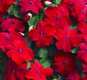 poza Flori pentru balcon IMPATIENS ROSU la ghivece de 12 cm