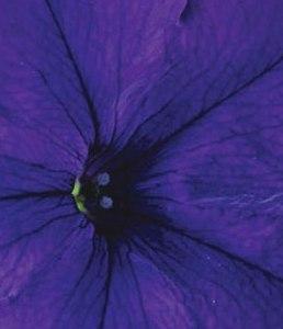 poza Plante de balcon petunii curgatoare cu flori mari albastru inchis Petunia hybrida pendula