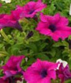 poza Plante de balcon petunii curgatoare cu flori mari purpuriiPetunia hybrida pendula