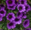 poza Plante de balcon petunii curgatoare mini culori mixte, Million Bells