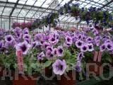 Poza Plante de balcon petunii curgatoare  (Petunia hybrida pendula)