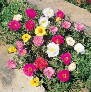 Poza Flori de gradina anuale Portulaca grandiflora / Floare de piatra