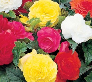 poza Flori de balcon BEGONIA TUBERHYBRIDA SWIFT MIX