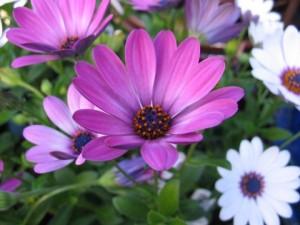 poza Flori de gradina anuale OSTEOSPERMUM ghiv 12 cm
