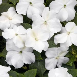 poza Flori de gradina anuale IMPATIENS WALERIANA WHITE / SPORUL CASEI Flori la ghivece de 9 cm.