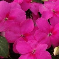 poza Flori de gradina anuale IMPATIENS WALERIANA VIOLET SPORUL CASEI Flori la ghivece de 9 cm.