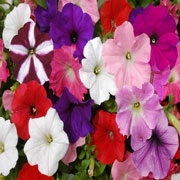 poza PETUNIA HYBRIDA GRANDIFLORA WHITE / Petunia de gradina cu floare mare. Flori de gradina anuale in ghiveci de 9 cm.
