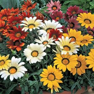 poza Flori de gradina anuale GAZANIA SPLENDENS Orange/ Gazania. Flori la ghivece de 9 cm.