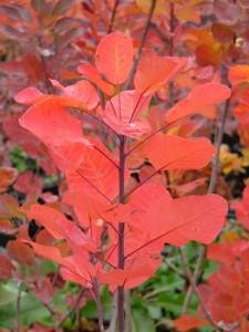 poza Arbusti cu frunze rosii toamna 'COTINUS COGGYRIA GOLDEN SPRIT' la ghiveci 5 litri, h=40-60cm.