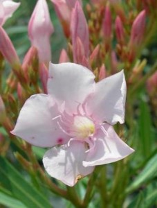 poza Plante de balcon NERIUM OLEANDER (leandru roz) ghiveci 5 litri h=60-80cm
