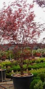 Poza Arbusti gradina frunze cazatoare Acer palmatum Bloodgood (artar japonez)