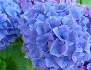 Poza HYDRANGEA MACROPHYLLA BLUE