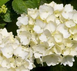 poza Flori perene Hortensia / HYDRANGEA MACROPHYLLA WHITE h=50-70 cm, ghiveci 10 litri