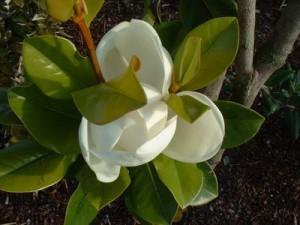poza Magnolia parfumata de vara MAGNOLIA GRANDIFLORA GALLISSONIENSISghiveci 35 litri h=175-200cm (F.ramificata)