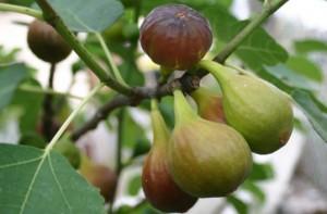 poza Smochin Ficus Carica Albo arbust ramificat la ghiveci h=1m
