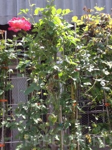 poza Trandafiri urcatori H = 200 cm,  la ghiveci de 5 litri