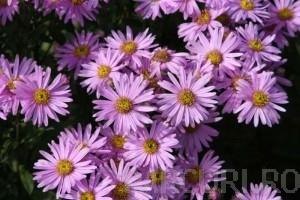 poza Flori de gradina perene Aster amellus Rosa Erfullung (aster, steluta)