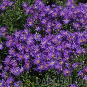 poza Flori de gradina perene Aster AMELLUS Blue King (aster, steluta, ochiul boului de munte)