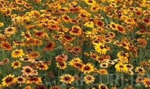poza Flori de gradina perene COREOPSIS/ COREOPSIS COREY YELLOW