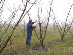 poza Taiere de intretinere si fructificare la pomi fructiferi medii (inaltime 2 - 3 metri)