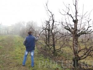 Poza Taieri de formare si regenerare pentru pomii fructiferi batrani. Stropiri si tratamente fitosanitare pentru pomii fructiferi pe rod.