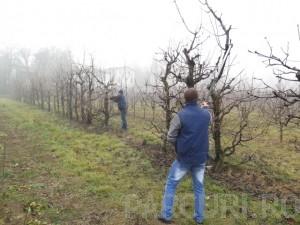 poza Taiere de regenerare pomi fructiferi foarte mari (inaltime peste 4 metri)