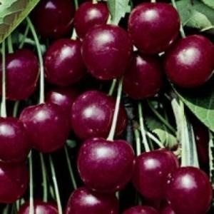 poza Pomi fructiferi Ciresi soiul `Heldelfinger `pe rod . 06-08 1/2 F ( ghiv 15 l  )