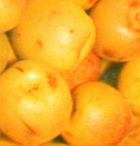 poza Caisi soiul `Sulmona`. Puieti pomi fructiferi altoiti, cu radacina ambalata.