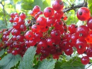 poza Arbusti fructiferi Coacaz rosu, la giveci