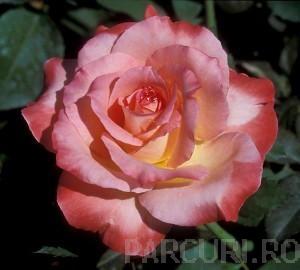 poza Trandafiri de gradina  parfumati cu radacina ambalata  'Seilas Parfum'