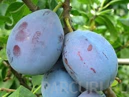 poza Pomi fructiferi Pruni soiul Cacanska Lepotica, puieti fructiferi cu radacina ambalata