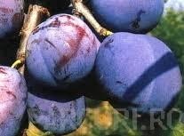 poza Pomi fructiferi Pruni soiul 'Silvia'. Puieti fructiferi altoiti cu radacina ambalata.