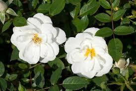 poza Trandafiri pitici taratori cu radacini ambalate Kent