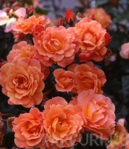 poza Butasi de trandafiri urcatori cu radacini ambalate, soiul `Orange`