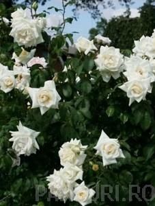 poza Trandafiri urcatori cu flori albe, H = 200 cm,in ghivece de  5 litri