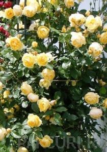 poza Trandafiri urcatori H = 200 cm,  la ghiveci de 5 litri cu flori SOMON