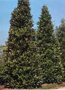 Poza Arbori foiosi`MAGNOLIA GRANDIFLORA `GALLISSONIENSIS`