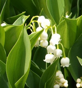 poza Flori de gradina perene CONVALLARIA MAJALIS / Lacramioare