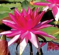 poza Plante acvatice, Nymohaea Rose Arey (nufar)